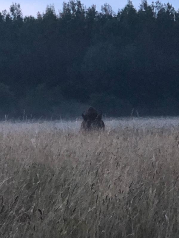 Bison im Sommergras