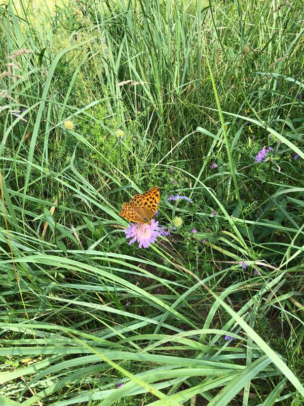 Schmetterling im Schilf